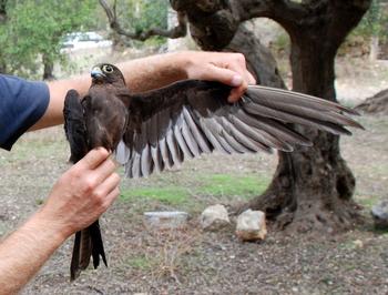 Falconiformes. sub Falconidae - sub fam Falconinae - gênero Falco Falele-1