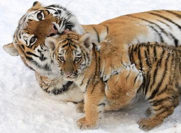 Najslađe životinje na svijetu - Page 3 Tiger-360