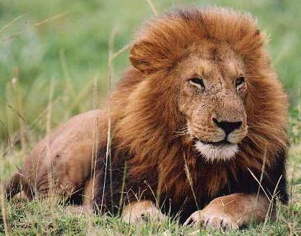 ☺Rions un Peu ☺!!!!! Lion