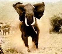 السوق السوداء ElephantDM1406_468x410