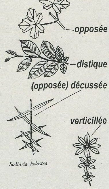 Gymnospermes Dispositionsdesfeuilles