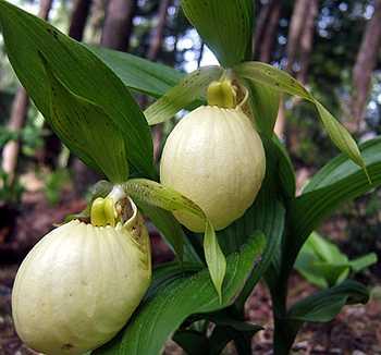 Hoa gieo tứ tuyệt 3 - Page 12 CypripediumFasciolatum