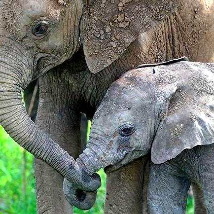 الفيلة تستخدم «لغة سرية» لا يسمعها البشر Elephant-baby-mom-2