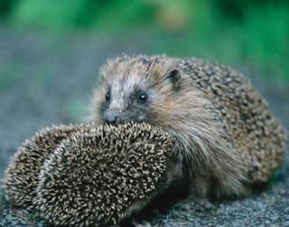 حكمة القنافذ  ((التقارب المدروس)) Hedgehog