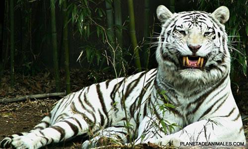 Lo bello de lo salvaje - Página 2 Tigre-blanco