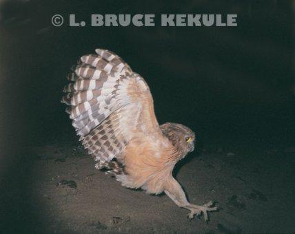 Strigformes: Famíla Strigidae- sub fam. Buteonidae. Género Ketupa (por vezes incluído em Bubo) 86__500x340_buffy-fish-owl