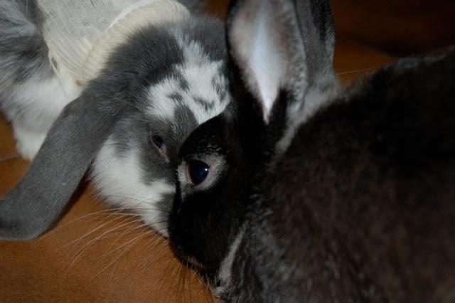 Rabbit story : histoire d'un coup de foudre DSC_2973