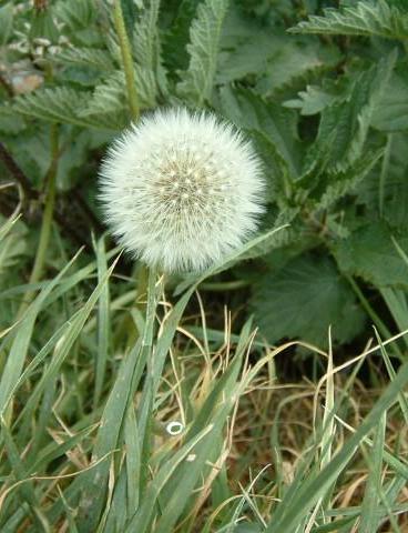 Plantas que curan.. 20060408200324-diente-de-leon
