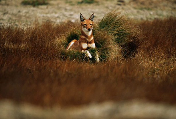 Carnívoros Família Canidae. Canis simensis- Lobo da Etiópia Ethiopian-wolf-credit-national-geographic