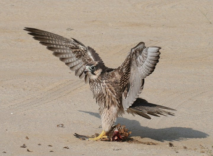 Falconiformes. sub Falconidae - sub fam Falconinae - gênero Falco Photo-of-the-day-13-december-2010-peter-thomas