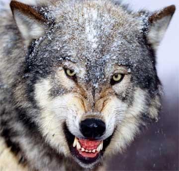 Mieux vaut être pauvre mais maìtre chez soi Wolf