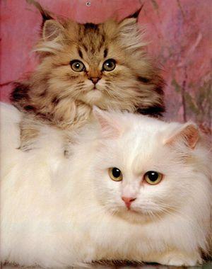 تربية القطط Medium_1173777380