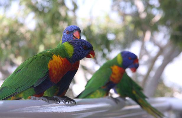 En Australie, des perroquets saouls tombent du ciel Article_perroquet