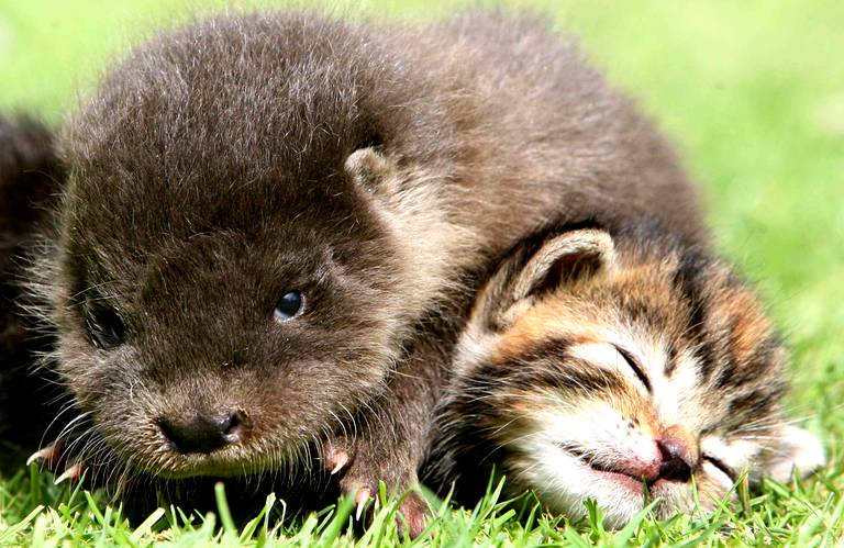 Pause tendresse... Orphaned-otter-becomes-friends-with-diaporama