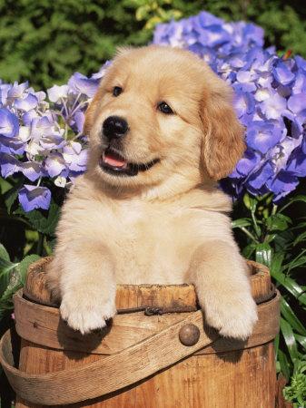 au plus gentil des patrons Stone-lynn-m-golden-retriever-puppy-in-bucket-canis-familiaris-illinois-usa