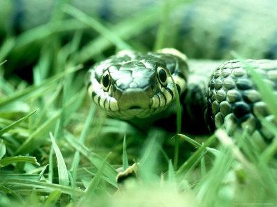 Serpent dans l'herbe West-ian-grass-snake-hampshire-uk