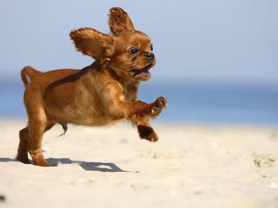 Cavalier King Charles Spaniel Wegner-petra-cavalier-king-charles-spaniel-puppy-14-weeks-ruby-running-on-beach-jumping-ears-flapping