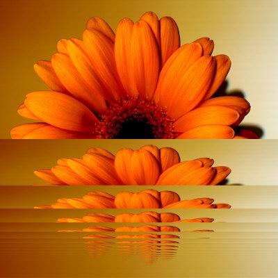 Orange - Page 3 Monsoon-images-gerbera-flower-as-rising-sun