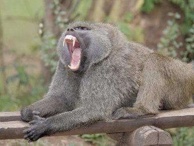 Babuíno vs chimpanzé  UNSIF00Z