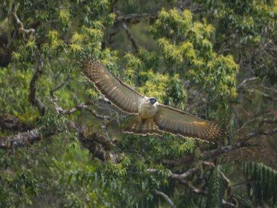 Falconiformes. Família  Acciptridae - Subfamília Buteonidade-Águias coroadas - gênero Pitecophaga jefferyi . Águia das Filipinas. YCHJF00Z