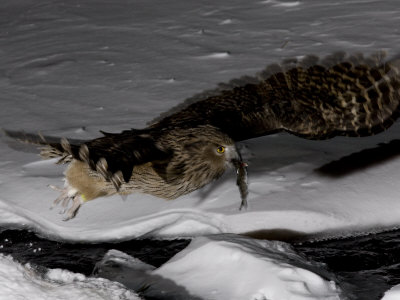 Strigformes: Famíla Strigidae- sub fam. Buteonidae. Género Ketupa (por vezes incluído em Bubo) Roy-toft-blakistons-fish-owl-in-flight-with-fish-in-its-beak