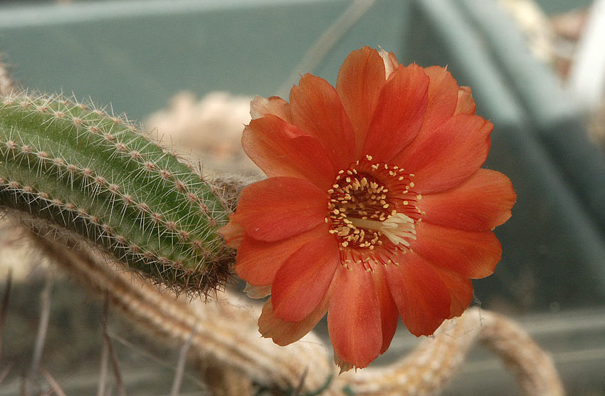 Les cactus ont le moral... ChamaecereuxXA.Laroze