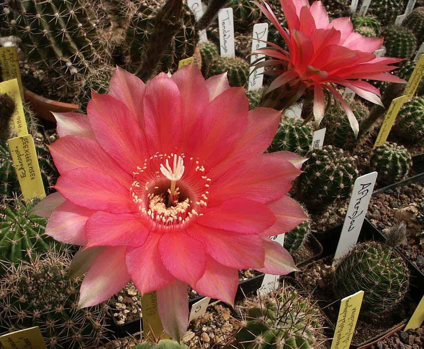 Les cactus ont le moral... E.Red_Pigny