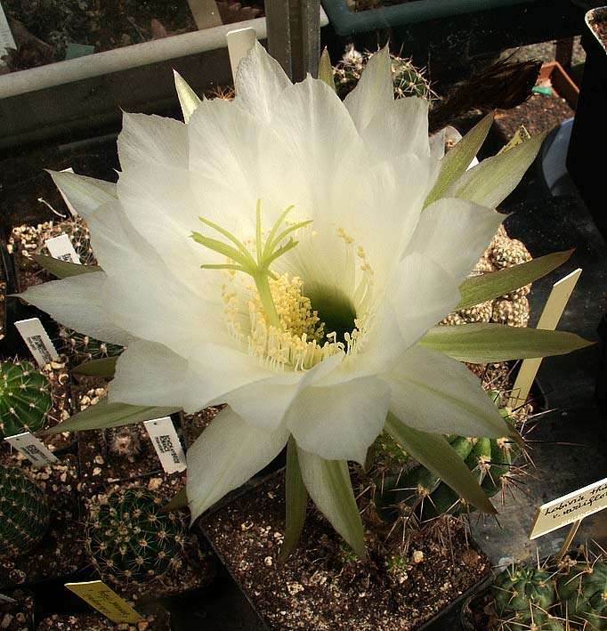 Les cactus ont le moral... E.bridgesii