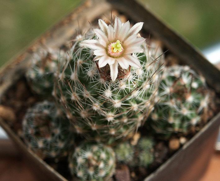 Les cactus ont le moral... Escobaria_zilziana