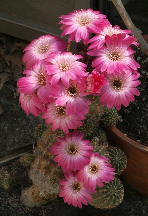 Les cactus ont le moral... Lobivia_winteriana