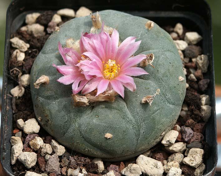 Les cactus ont le moral... Lopho_fricii_2010