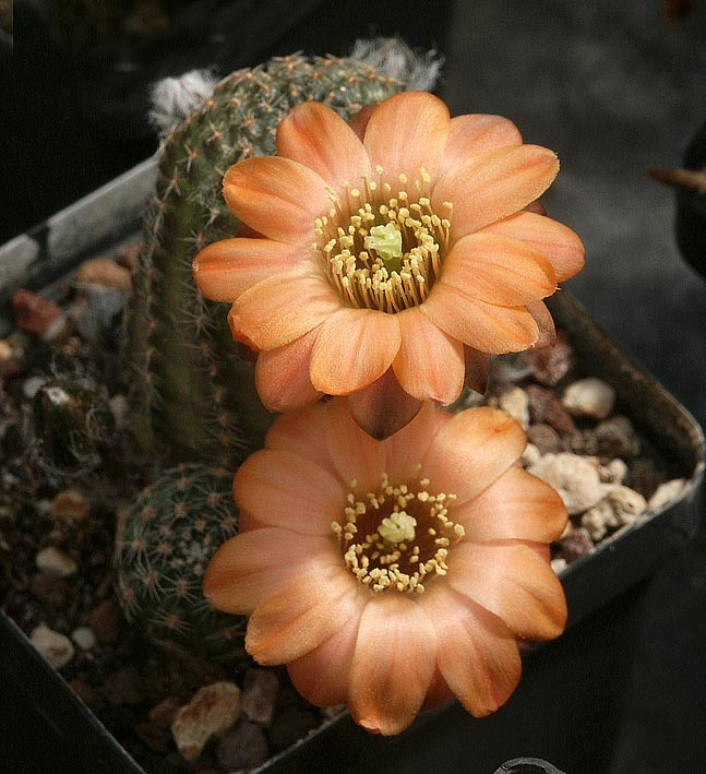 Les cactus ont le moral... Mediolobivia_pectinifera-v-digitiformis