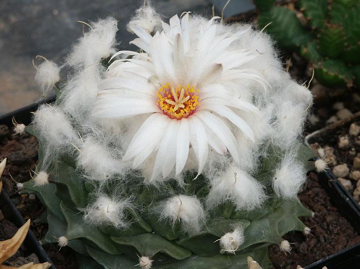 Les cactus ont le moral... Obregonia_denegrii_2010