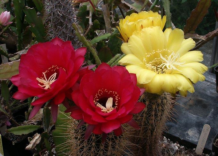 Les cactus ont le moral... Trichocereus_huascha