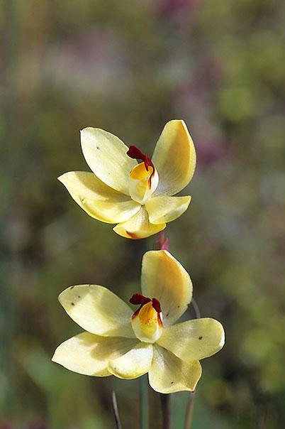 Checklist des orchidées terrestres d'Australie - Page 2 044