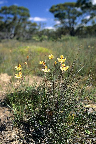 Checklist des orchidées terrestres d'Australie - Page 2 045
