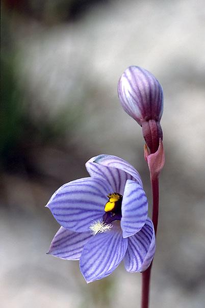 Checklist des orchidées terrestres d'Australie - Page 2 182