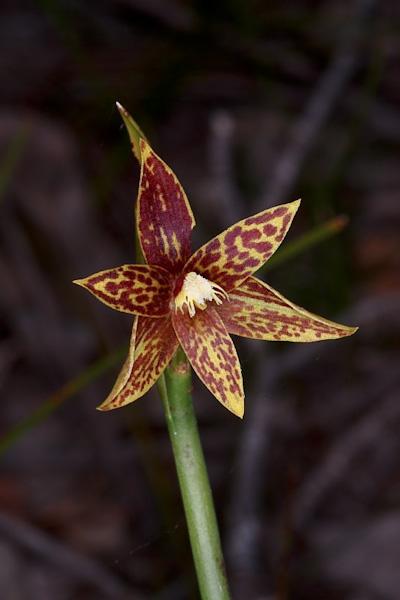Checklist des orchidées terrestres d'Australie - Page 2 IMG_0640