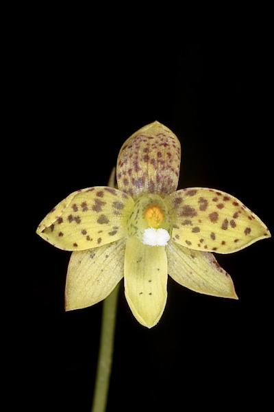 Checklist des orchidées terrestres d'Australie - Page 2 IMG_0643