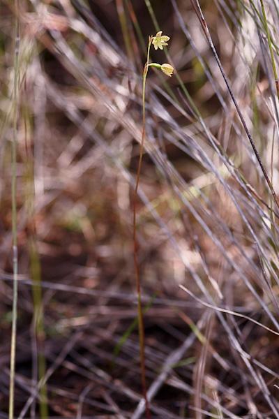 Checklist des orchidées terrestres d'Australie - Page 2 IMG_0646