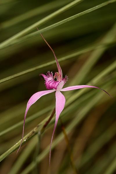 Orchidée rarissime d'Australie IMG_6543