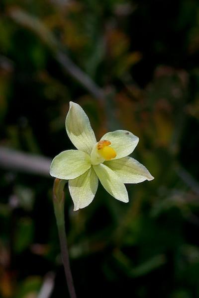 Checklist des orchidées terrestres d'Australie - Page 2 _MG_3438