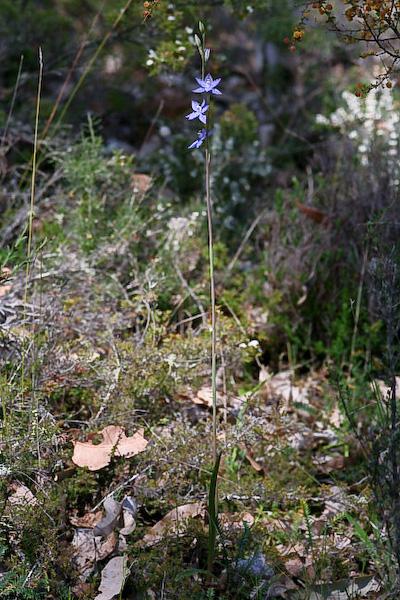 Checklist des orchidées terrestres d'Australie - Page 2 _MG_3599