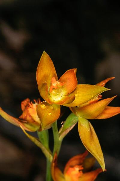 Checklist des orchidées terrestres d'Australie - Page 2 _MG_4056