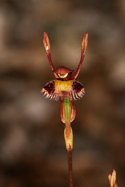 Checklist des orchidées terrestres d'Australie _MG_6328