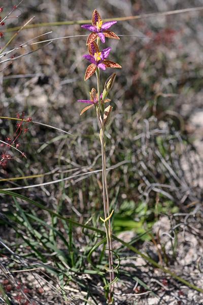 Checklist des orchidées terrestres d'Australie - Page 2 _MG_7637