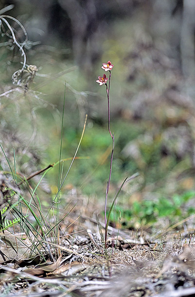 Checklist des orchidées terrestres d'Australie - Page 2 IMG206
