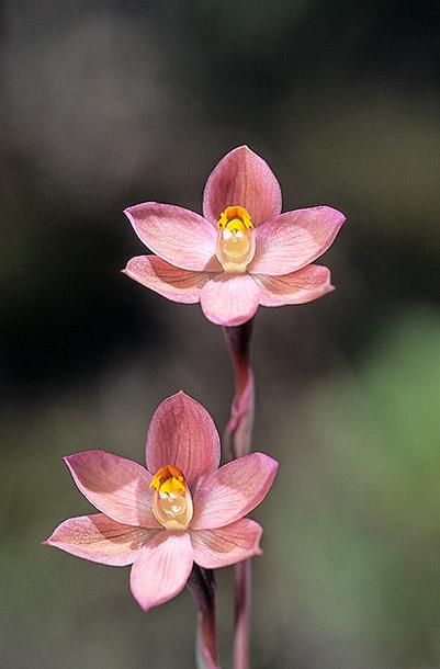 Checklist des orchidées terrestres d'Australie - Page 2 IMG208