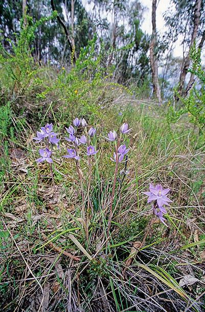 Checklist des orchidées terrestres d'Australie - Page 2 IMG219