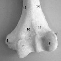 ostéologie du membre supérieur super cour Palette
